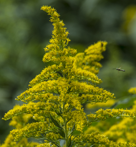 Golden rod bloom and bug