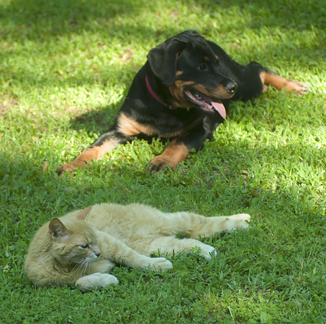 rotweiller and cat lying together