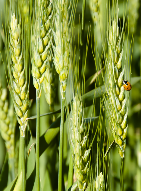 lady bug on winter wheat near Pine Bluff Arkansas