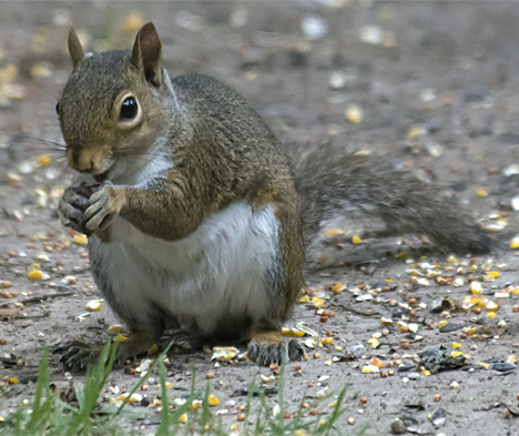 squirrel eating acorn