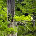 Hollow cypress tree near Grider Field Pine Bluff AR