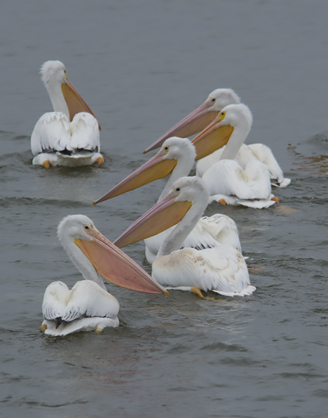 swimming pelicans on saracen lake