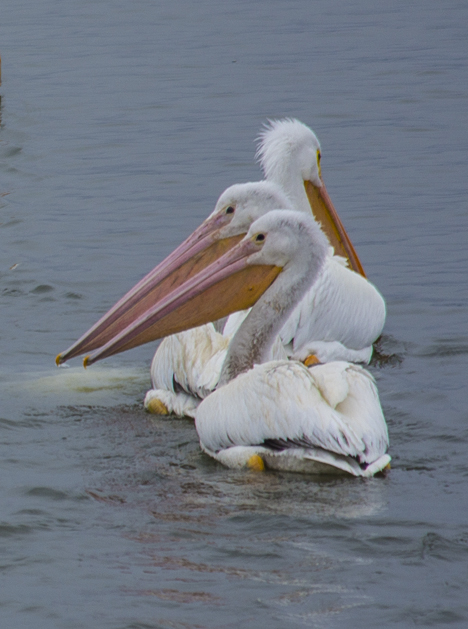 three white pelicans on saracen lake pine bluff ar