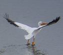 pelican in flight at saracen lake