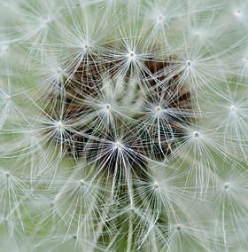 detail of dandelion bloom