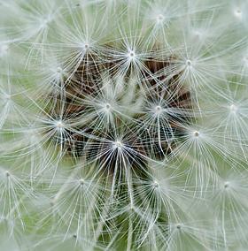 detail of dandelion bloom