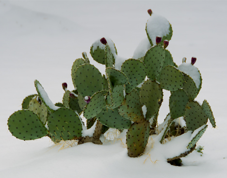 Prickly pear cactus in snow