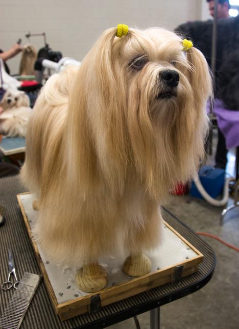 lhasa-aatso show dog, stryker