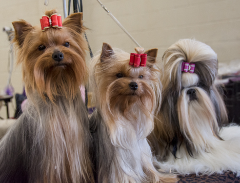 Yorkies and Shih Tzu