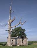 Dead tree and sharecropper house