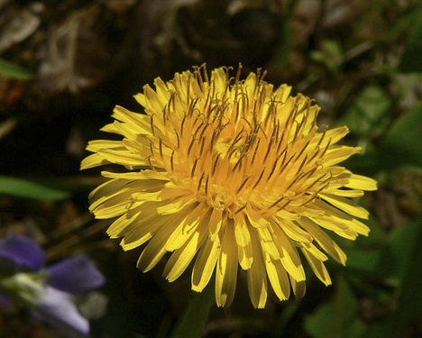 dandelion bloom