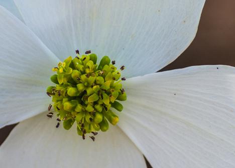 detail of dogwood bloom