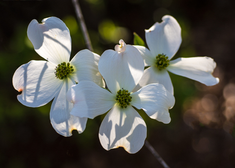 These dogwood blooms are courtesy of Ms. KItty, the resident neighborhood master gardener. She's doing something right because other dogwoods nearby became kindling wood a winter or so back,