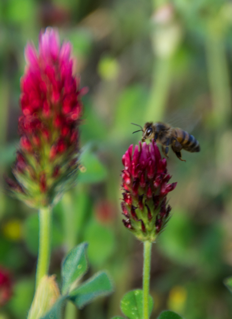 Bee flying around red clover