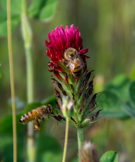 Two bees on red clover