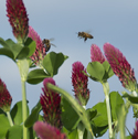 Bees on red clover