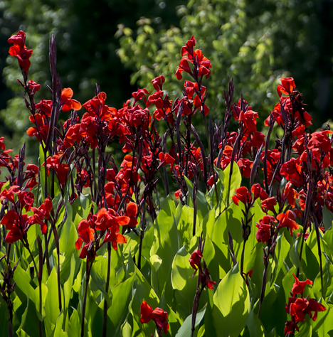 Blooming red Cannas