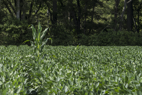 Corn stalk growing in a bean field