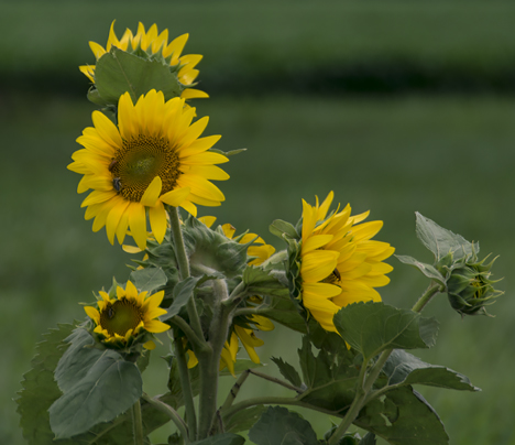 Sunflowers in wind storm