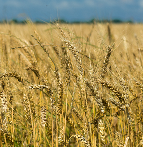 Southeast Arkansas wheat field ready for harvest