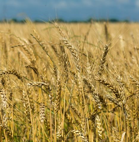 Southeast Arkansas wheat field ready for harvest