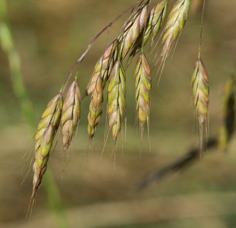 Wheat wannabe weed