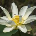 American Lotus bloom