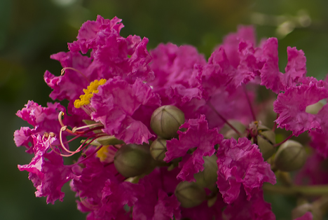 crepe myrtle close up
