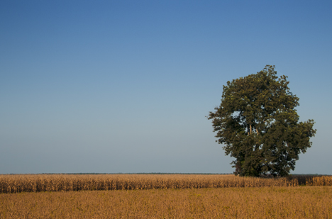 Tree in corn field.