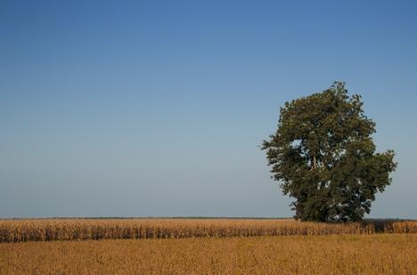 Tree in corn field.