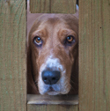 Basset hound looking through gate