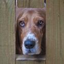 Basset hound looking through gate
