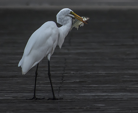 Egret with fish on Saracen Landing dock
