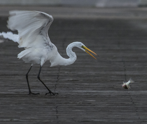 Egret misses fish on first try