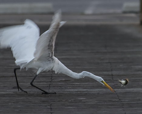 "Egret misses ""recatching"" his fish."