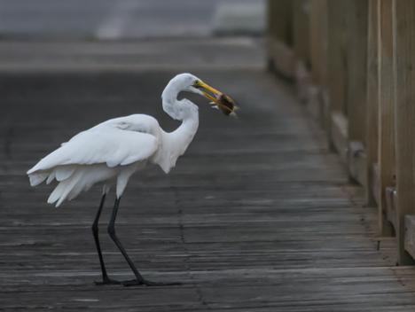 "Egret ""rectatches"" his fish"