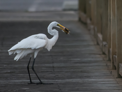 "Egret ""rectatches"" his fish"