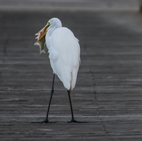 Egret gets fish turned