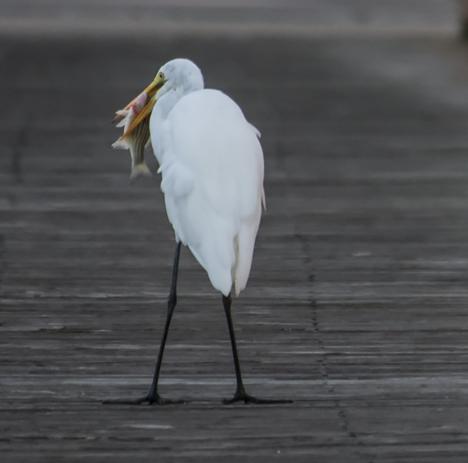 Egret gets fish turned
