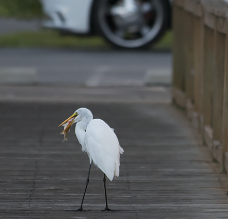 Egret eating fish