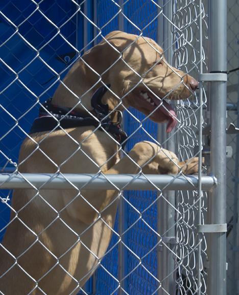 Adoptable dog in pen