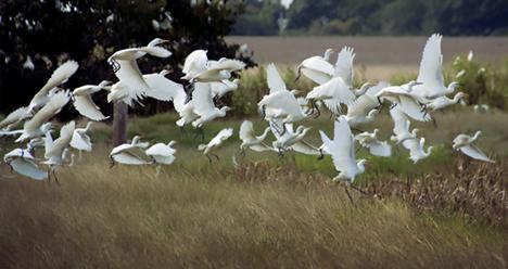 egret flock flying