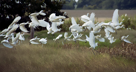 egret flock flying