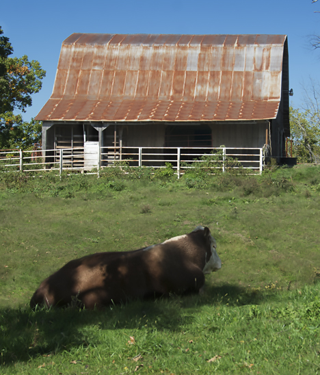 Hereford bull in barnyard