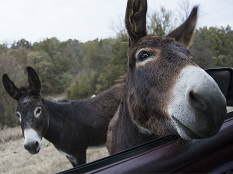 Donkey sticking her nose in a pickup truck window