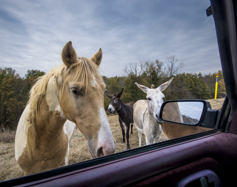 Horse and donkeys at pickup truck window
