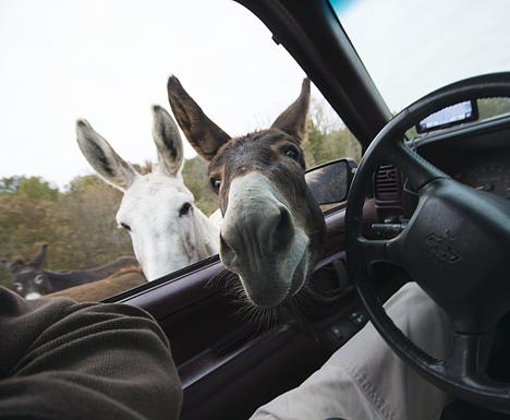 Donkey in truck window