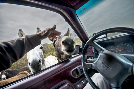 Driver of pickup truck petting donkey with head in pickup truck window
