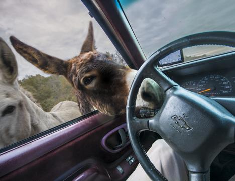 Donkey mouthing turn signal handle