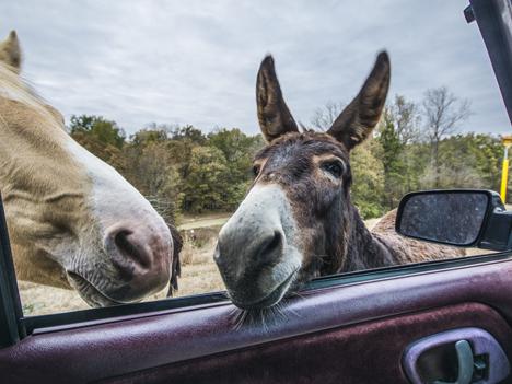 Donkeys in truck window